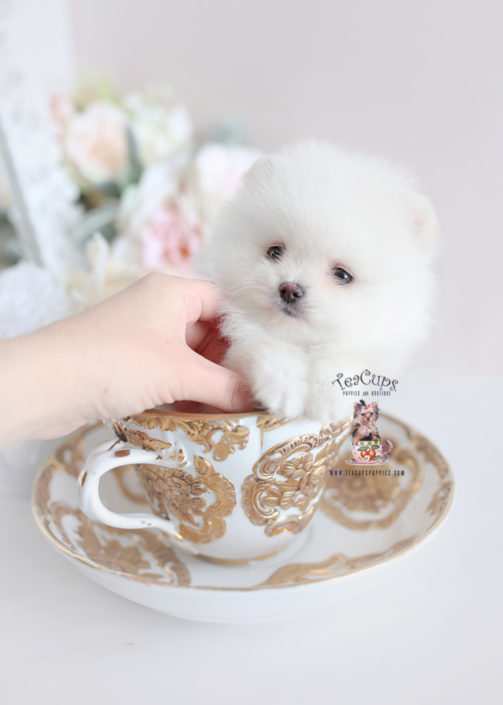 White Pomeranian Puppy For Sale