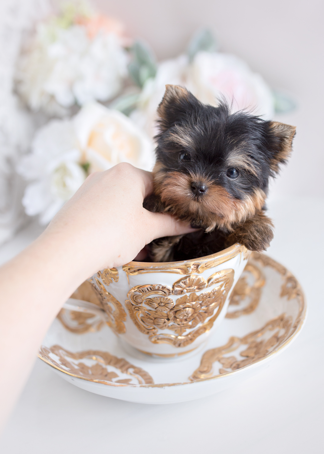 Teacup Yorkies Miami | Teacup Puppies & Boutique