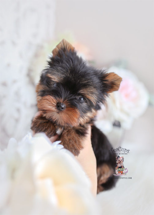 teacup yorkshire terrier puppy for sale toy or teacup yorkies for sale teacups puppies boutique 6191