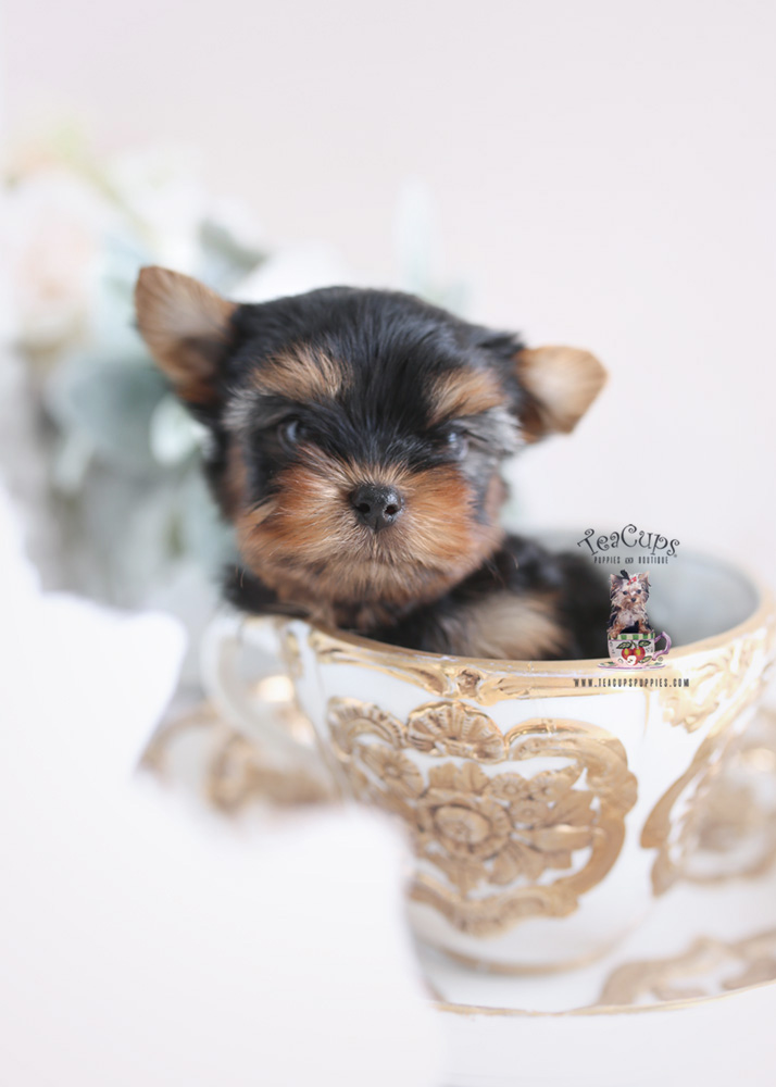 Adorable Yorkie Puppy For Sale