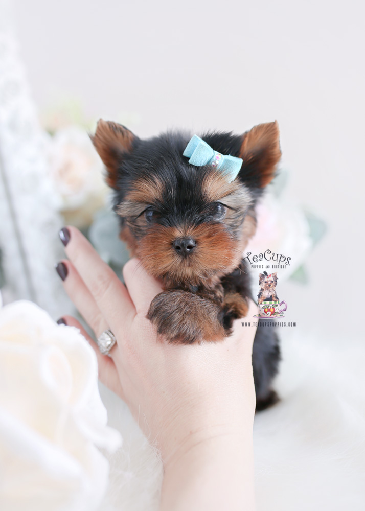 Yorkie Puppies For Sale Florida Teacups Puppies Boutique