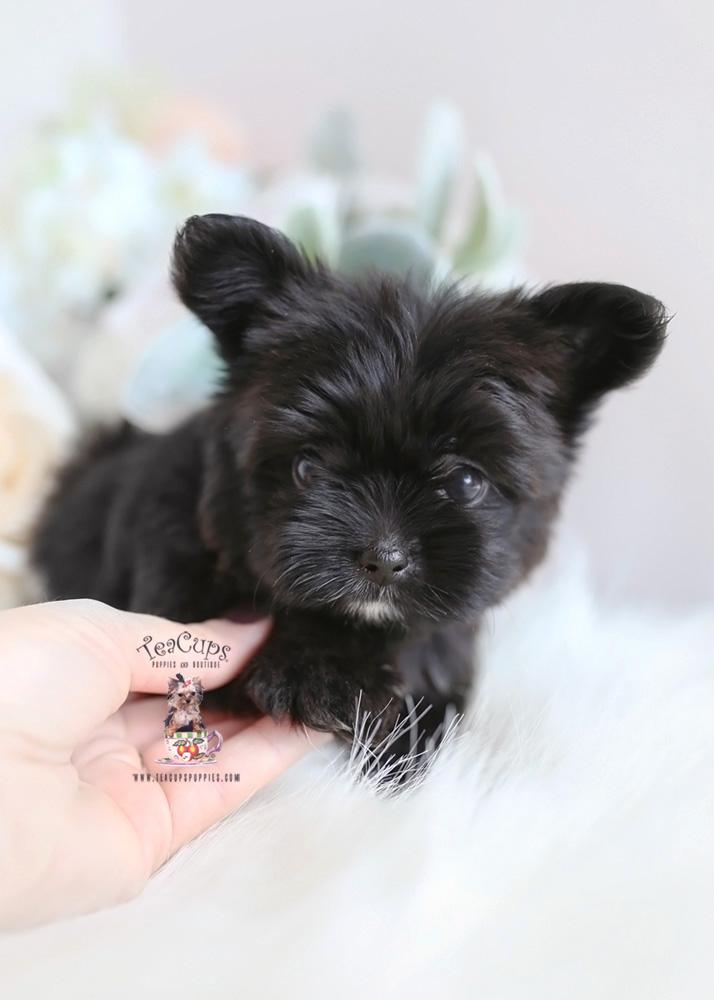 Teacup Morkie Breeder Florida | Teacups, Puppies & Boutique