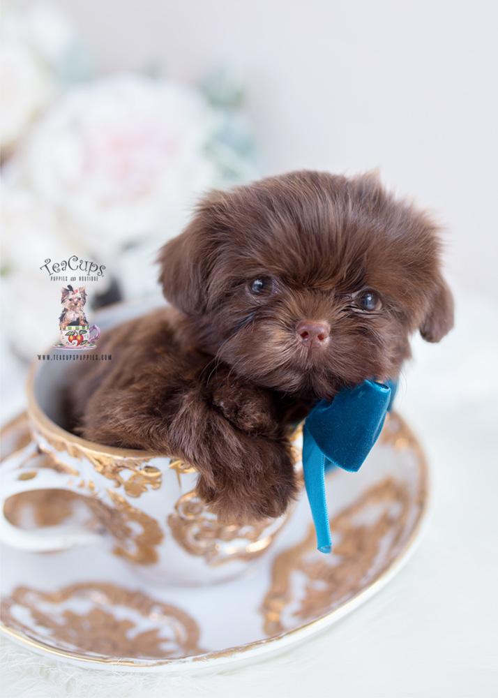 Chocolate Shih Tzu Breeder Teacups Puppies Amp Boutique