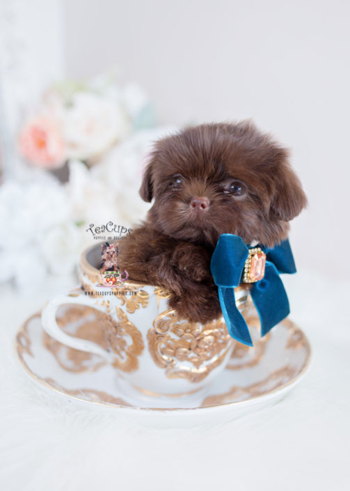 Chocolate Shih Tzu Breeder