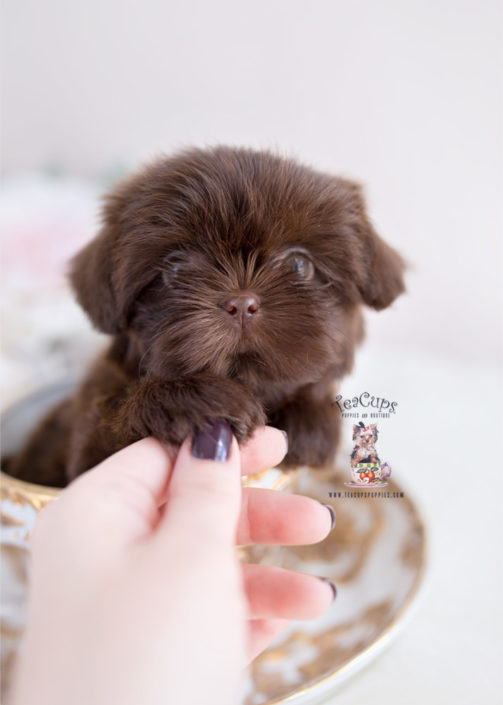 Chocolate Shih Tzu Puppies