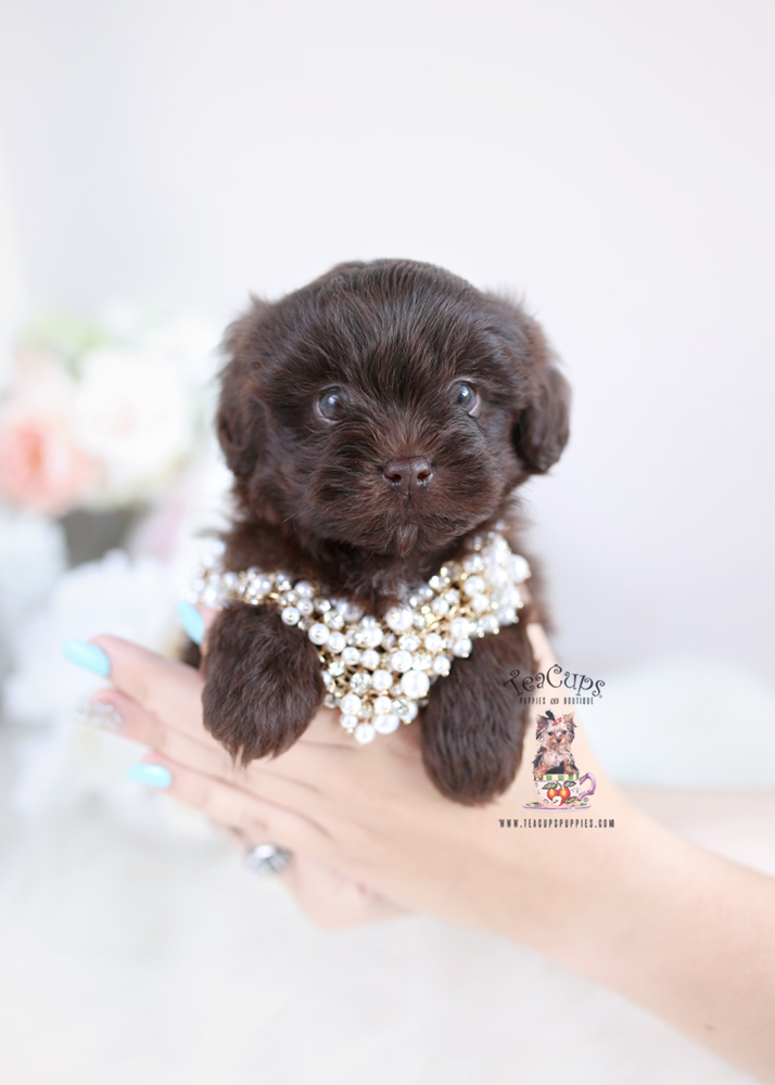 Chocolate Shihpoo Puppy