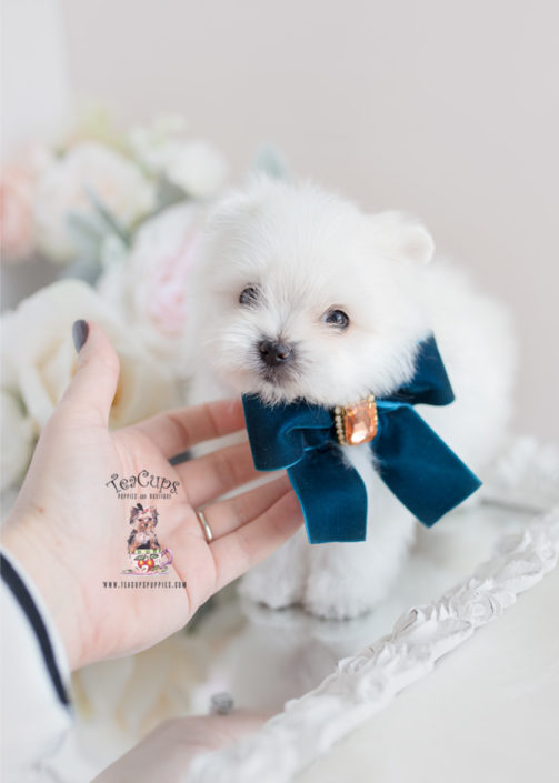 Designer Breed Maltipom Puppy