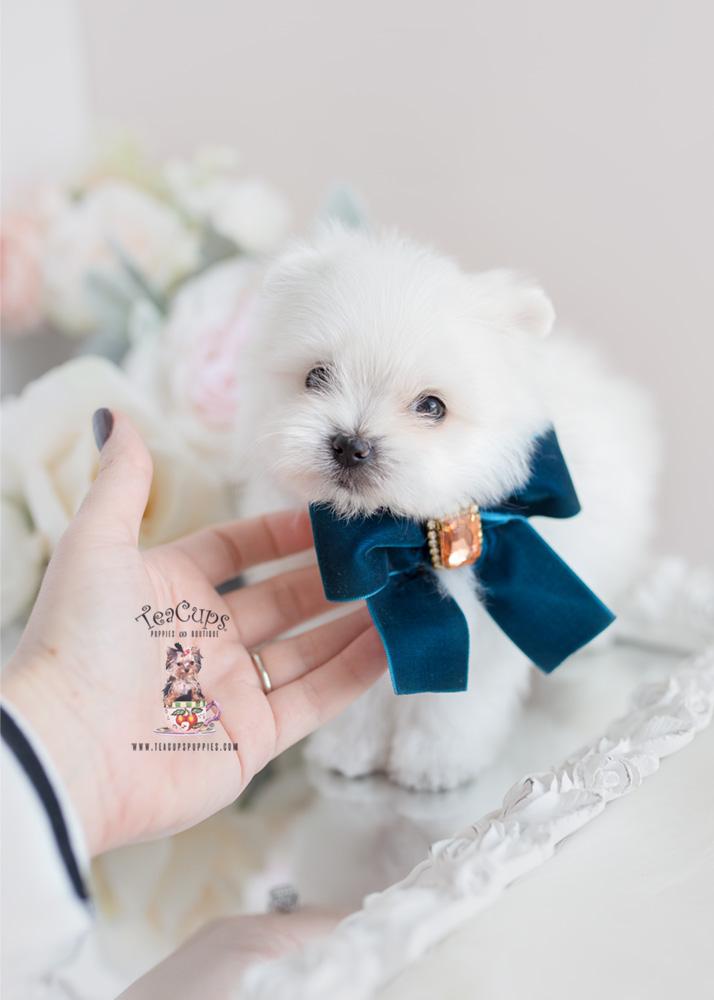 Designer Breed Maltipom Puppy