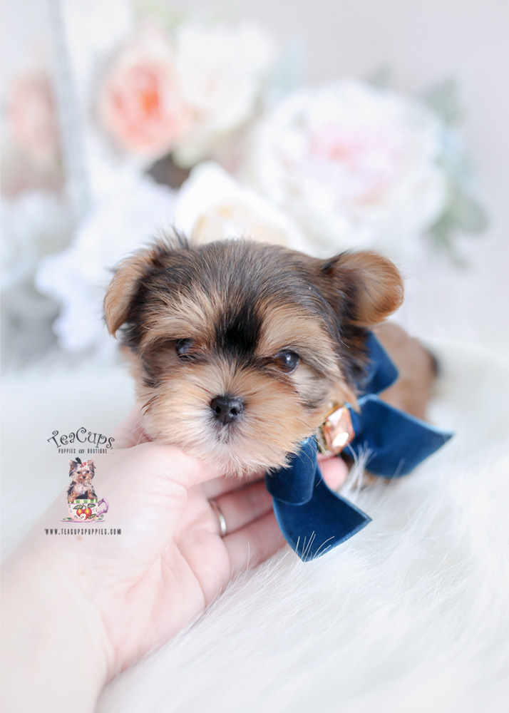 Morkie Puppies For Sale Teacups Puppies Boutique