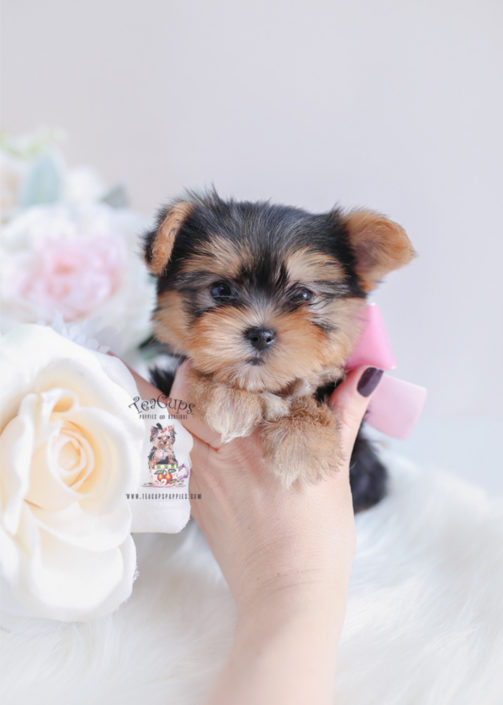 Teacup and Toy Morkie Puppies For Sale