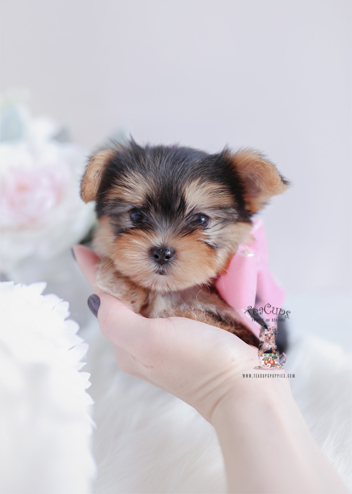 Teacup and Toy Morkie Puppies | Teacups, Puppies & Boutique
