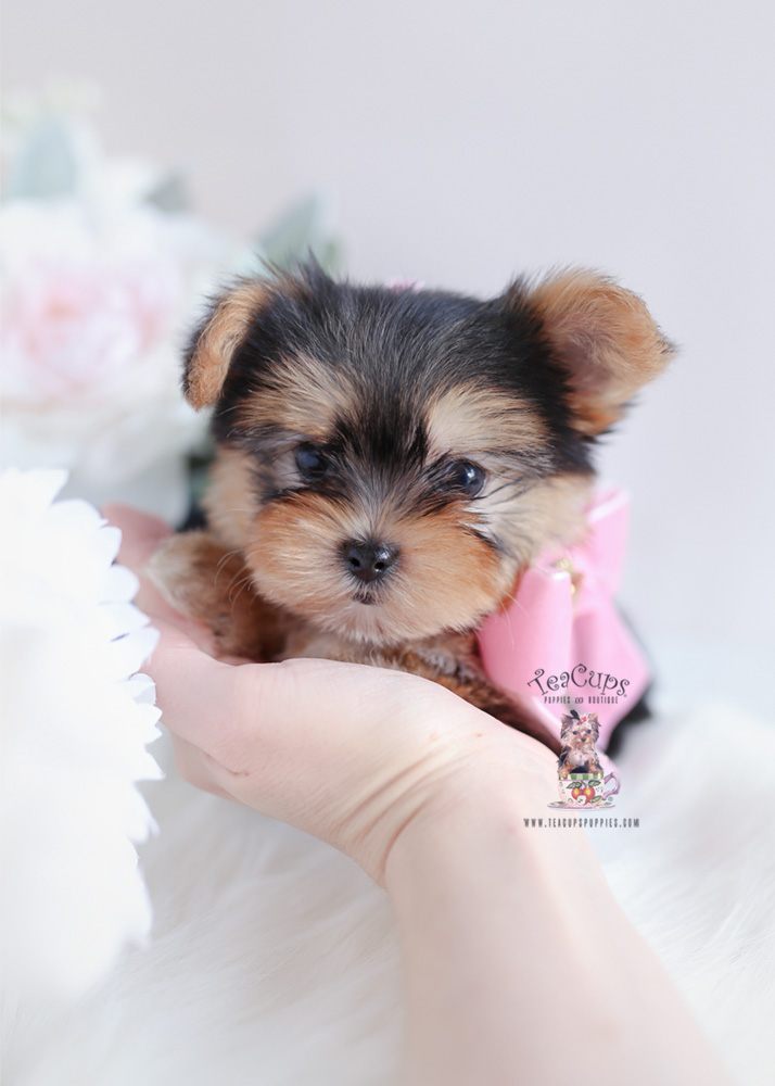 Teacup And Toy Morkie Puppies Teacups Puppies Amp Boutique