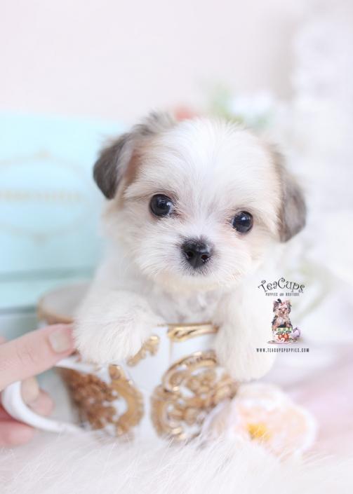 morkie puppy teacups
