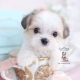 morkie puppy teacups