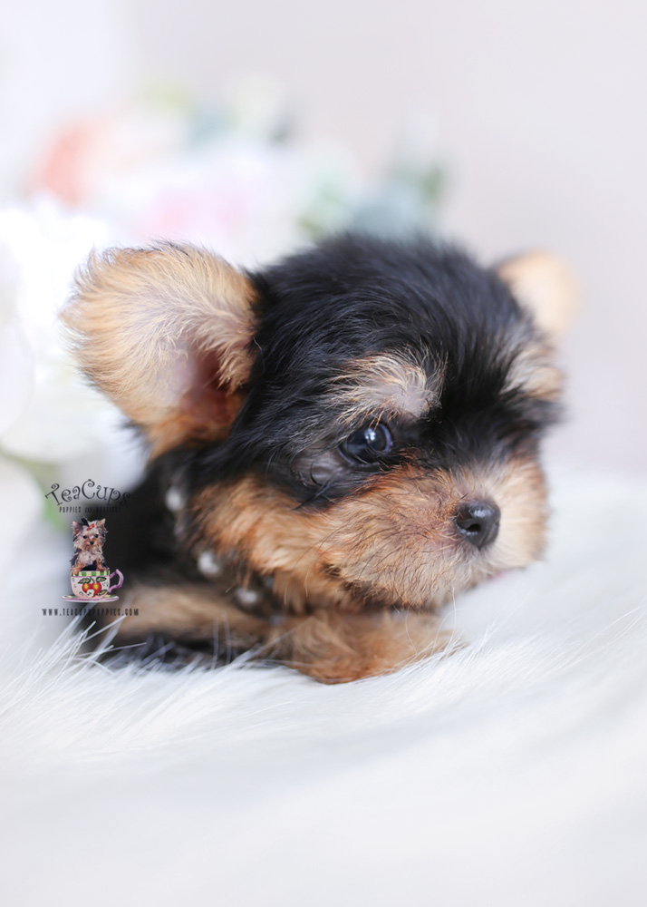 South Florida Morkie Breeder Teacups Puppies Amp Boutique