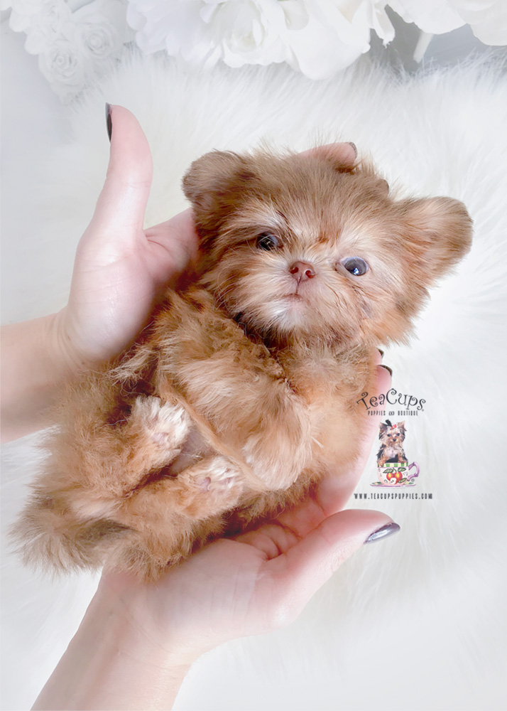 Imperial Shih Tzu Puppies Teacups