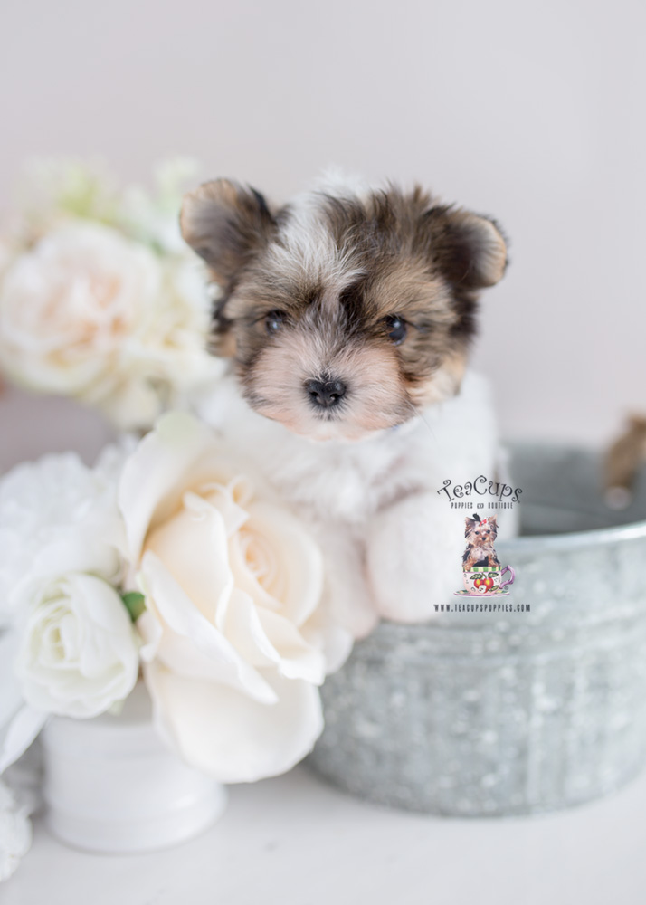 Toy and Teacup Biewer Yorkie Puppies