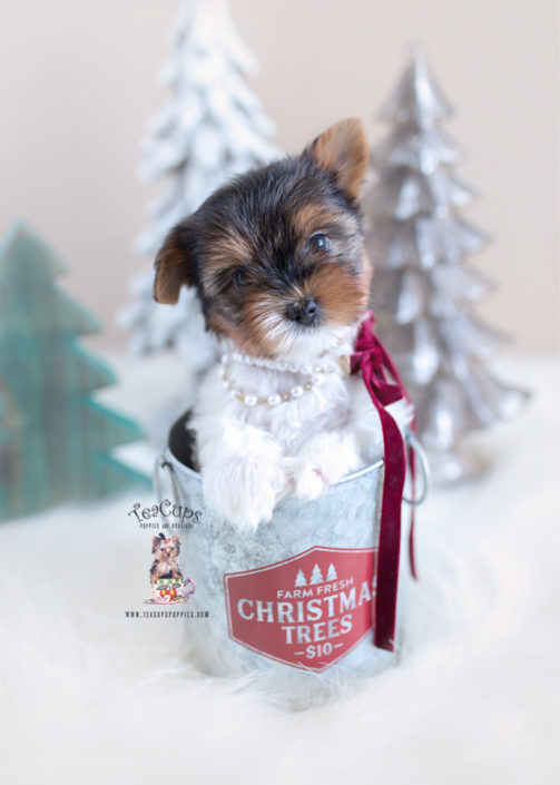 Christmas Biewer Yorkie Puppy