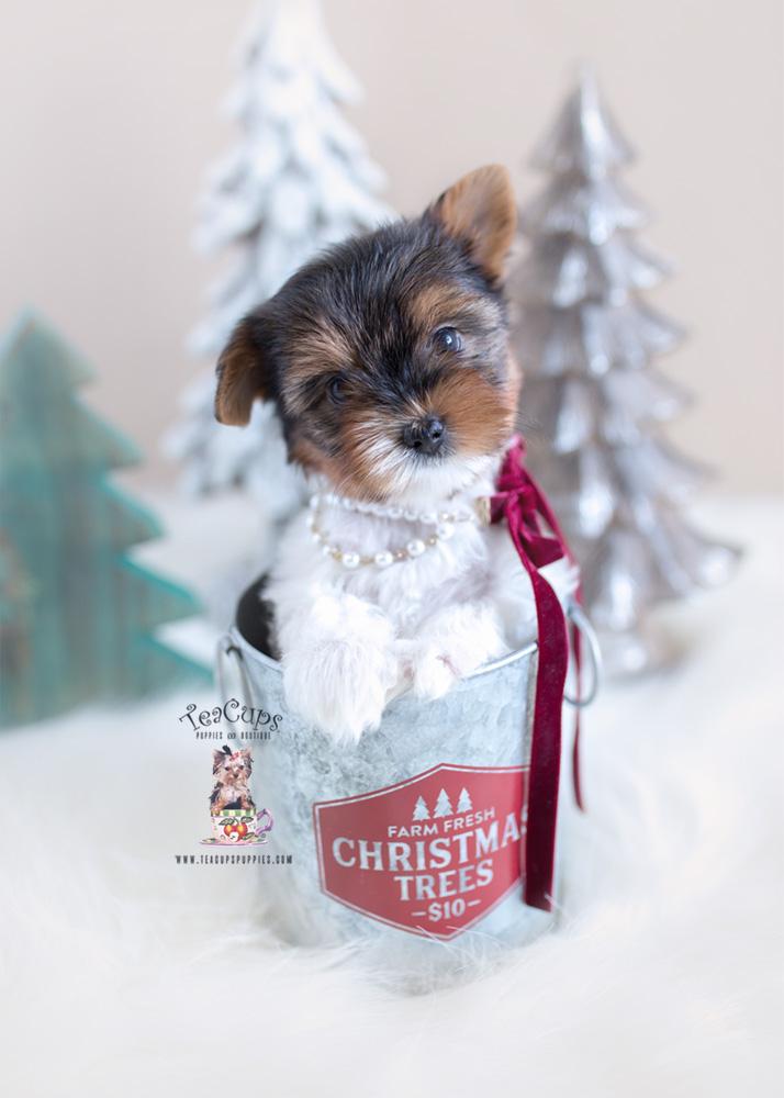 Christmas Biewer Yorkie Puppy