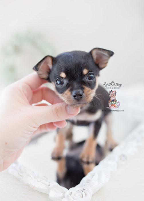 Teacup Puppies Chihuahua