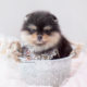 Black Tan Pomeranian Puppy