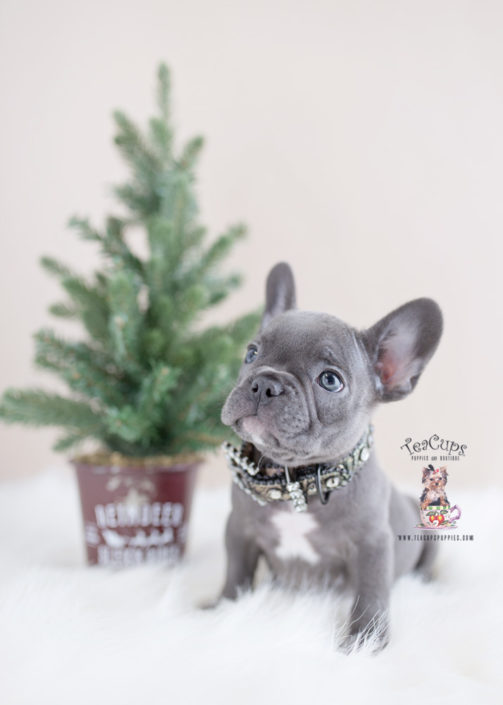 teacup french bulldog for sale french bulldog puppies for sale by teacups puppies 9772
