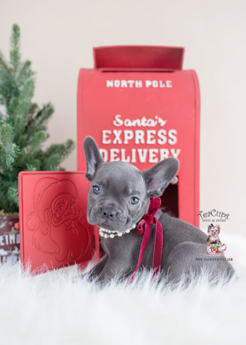 Christmas French Bulldog Puppy