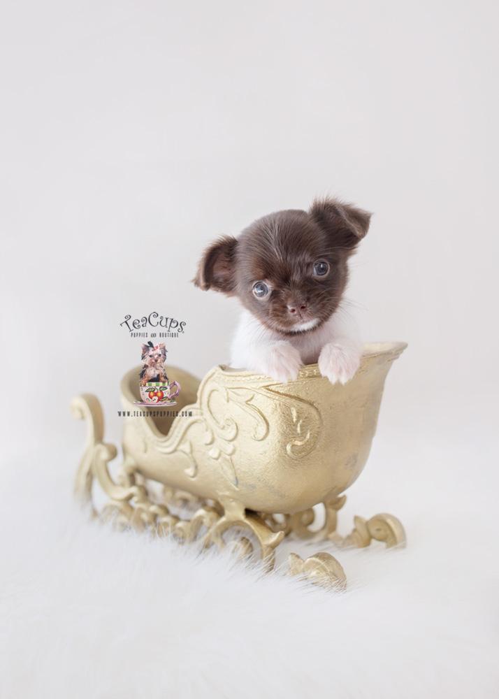 Christmas Chihuahua Puppy