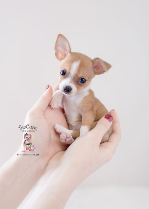 Chihuahua Pocket Dog Price