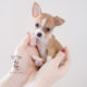 Tiny Toy and Teacup Chihuahuas