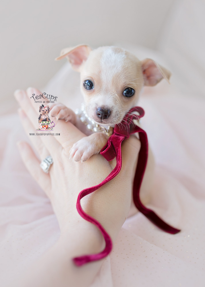 Chihuahuas by TeaCup Puppies