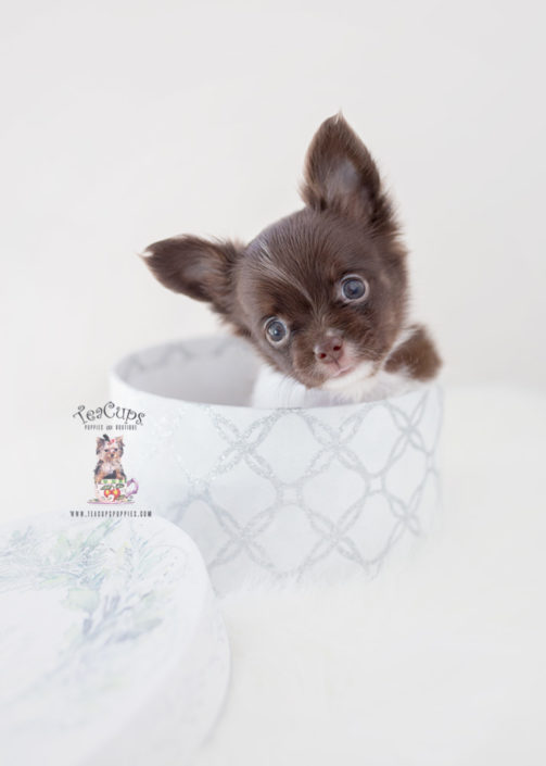 Teacup and Toy Chihuahua Puppies