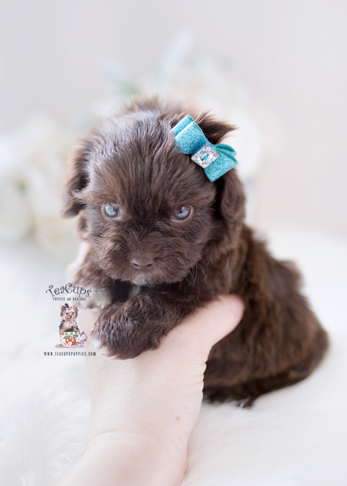 Shihpoo Designer Breed Puppies For Sale