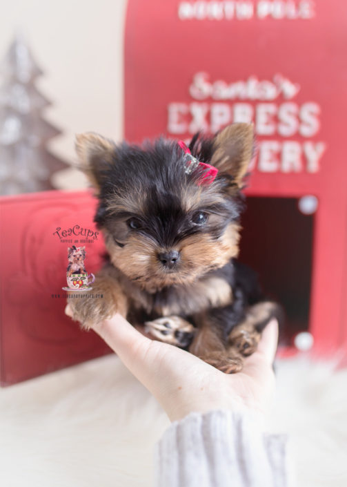 Christmas Yorkie Puppy For Sale