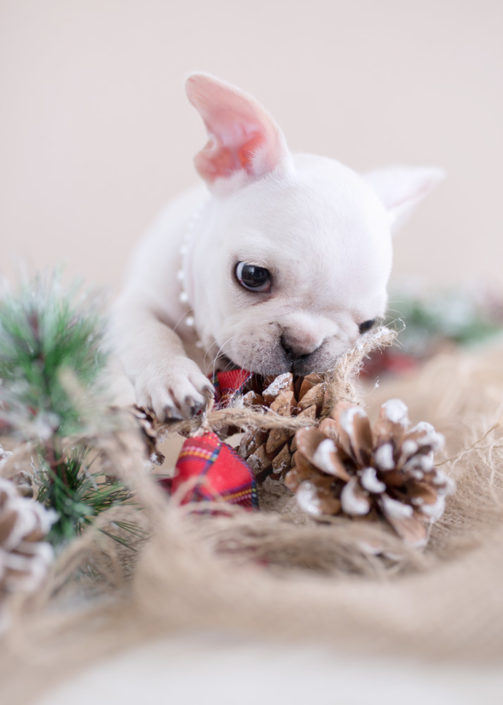 Mini French Bulldog Christmas Puppy