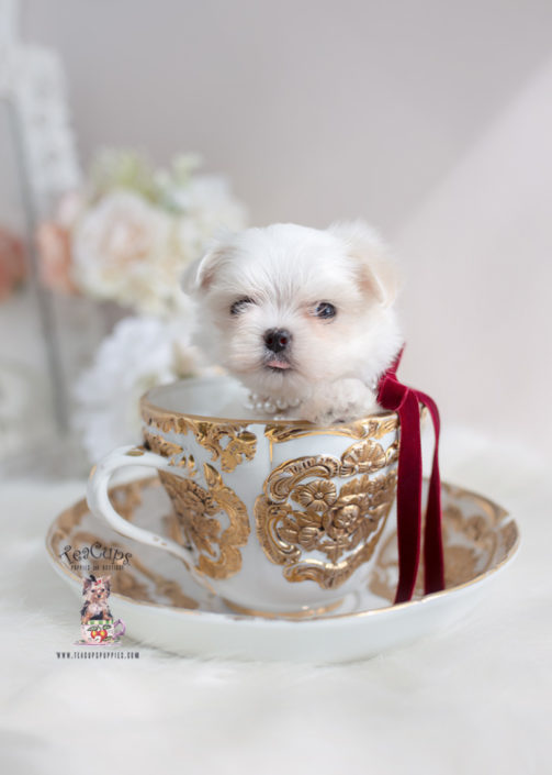 Teacup Maltese and Toy Maltese Puppies Florida
