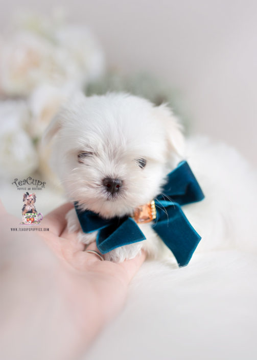 Maltese Puppy by TeaCups