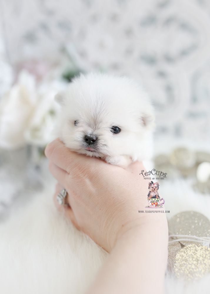 Micro Teacup Maltipom Puppy