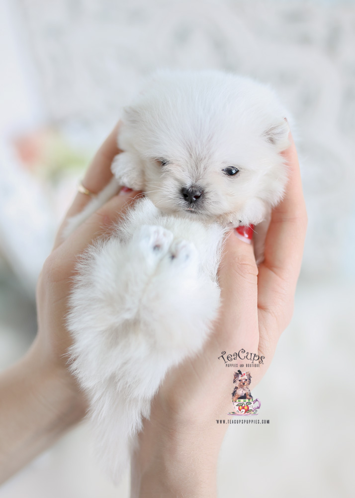 micro teacup maltese puppies for sale micro teacup maltipom puppies teacups puppies boutique 9607