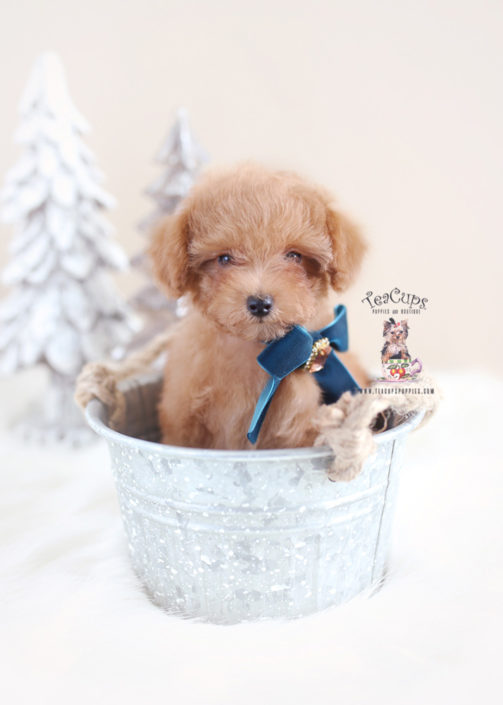 Christmas Toy Poodle Puppies