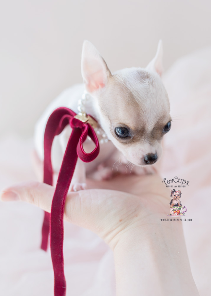 Teacup Chihuahua Breeder Fl Teacups Puppies Amp Boutique