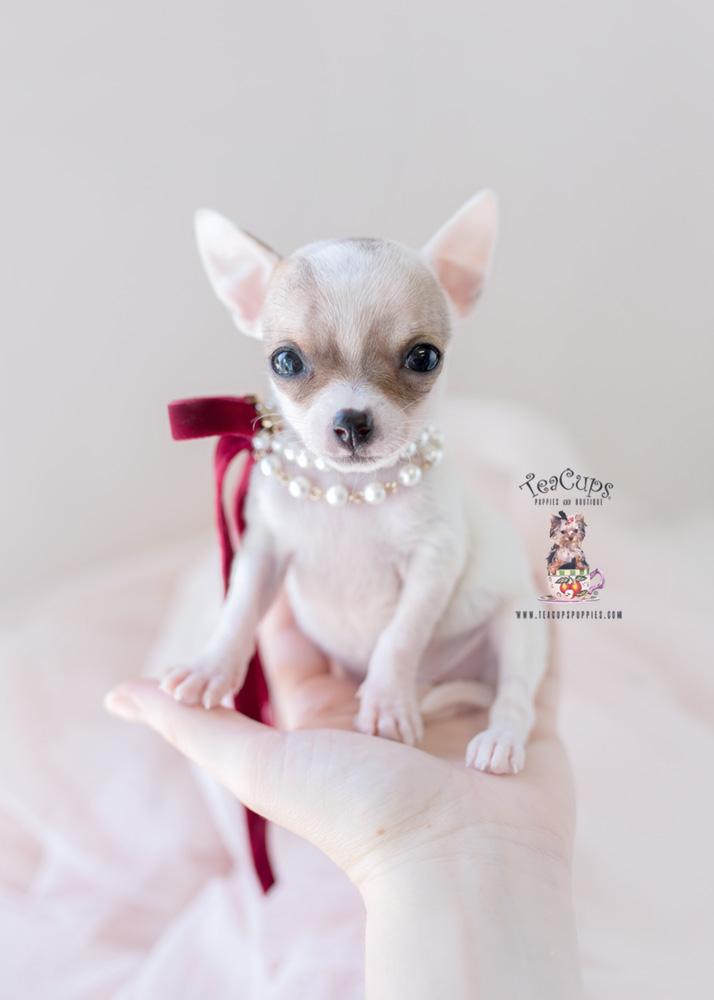 Teacup Chihuahua Breeder FL | Teacups, Puppies & Boutique | 714 x 1000 jpeg 81kB