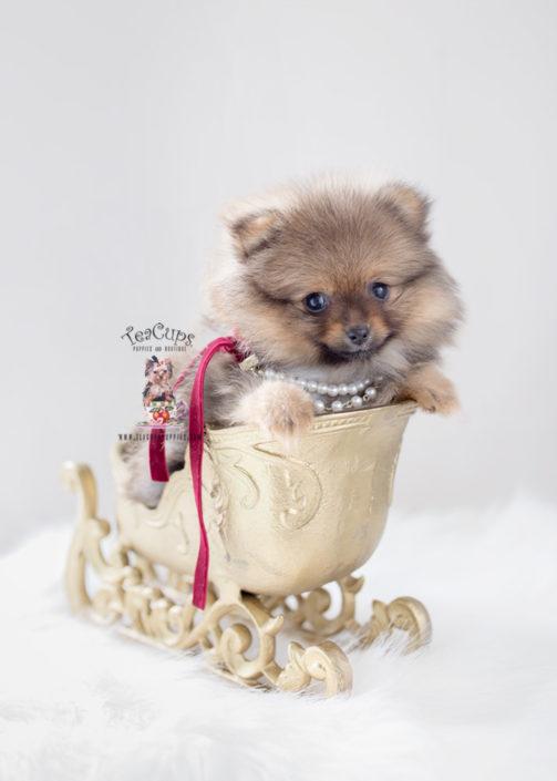 Pomeranian Puppy Breeders