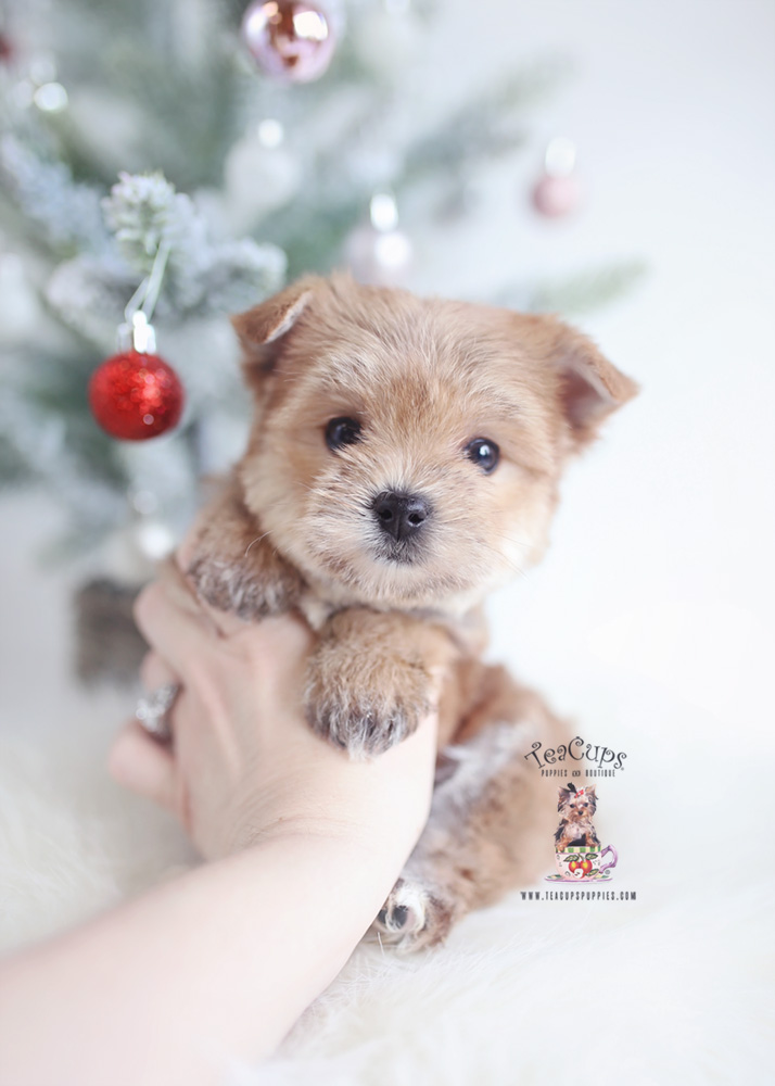 golden yorkie puppies the cutest little shih tzu puppies for sale teacups 7610