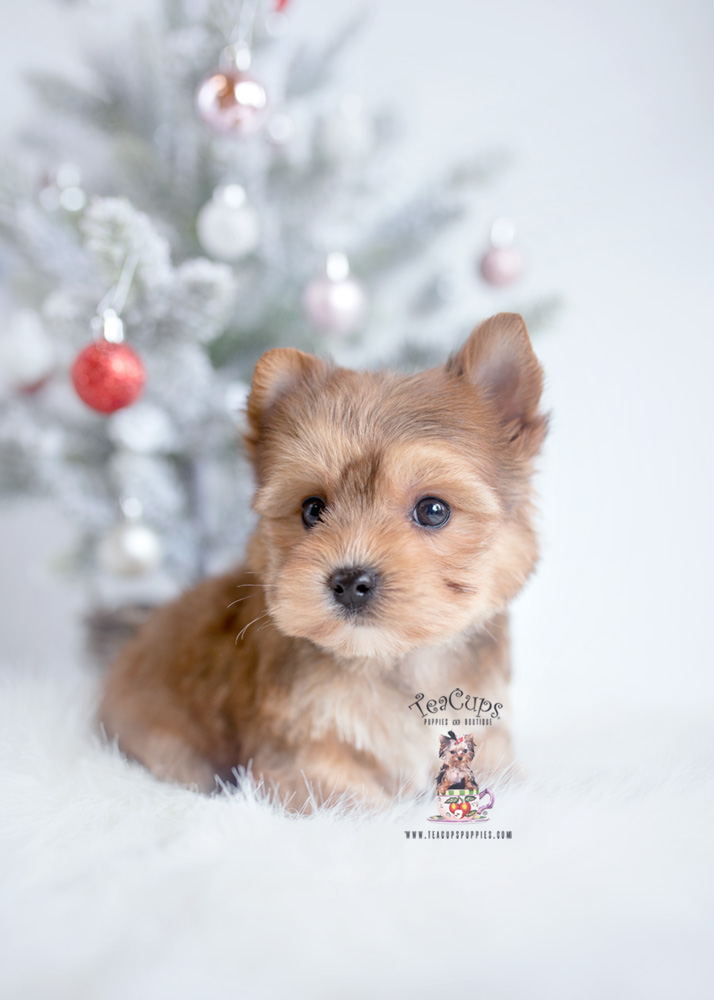 golden yorkie puppies the cutest little shih tzu puppies for sale teacups 4974