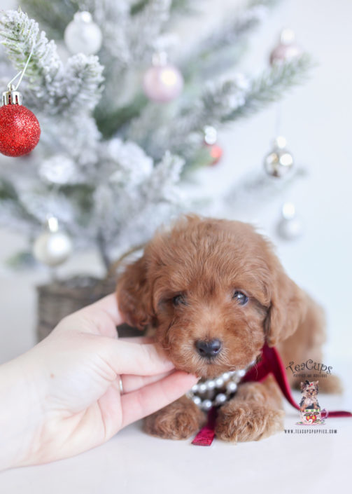 Red Toy Poodle Puppies