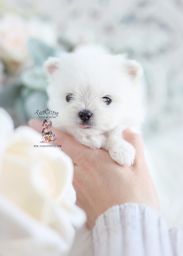 Tiny Maltipom Designer Breed Puppy