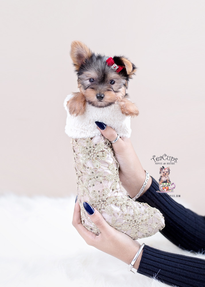 Yorkie Puppies For Sale by TeaCups