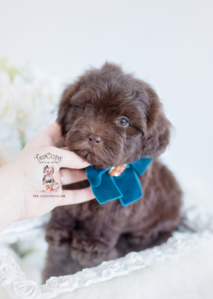 Shih-Poo Puppy For Sale