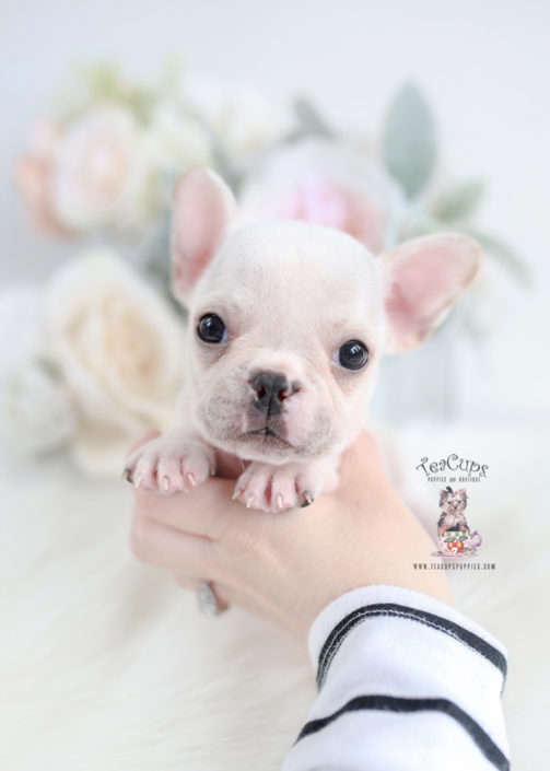 Tiny White French Bulldog Puppy